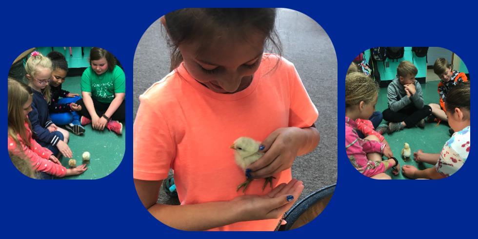 Fourth Grade has Chicks Berlin Brothersvalley School